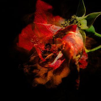 Vie en rose IV, 2012-2013